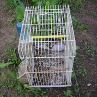 London man sentenced for keeping wild goldfinches