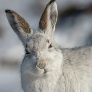 Calls for temporary ban on mountain hare culling