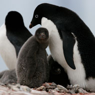 'Catastrophic' breeding failure for Adélie penguins