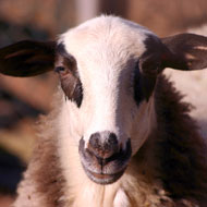 Sheep 'can be trained to recognise faces'