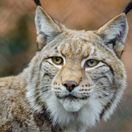 Zoo 'devastated' over lynx killing