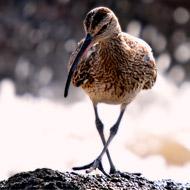 Volunteers sought to tackle wading bird decline