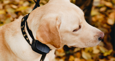 Scotland to regulate electric shock collars