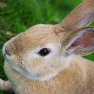 Vets urged to vaccinate rabbits against RHD-2