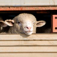 Government considering controls on live animal exports