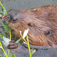 Beavers to return to the Forest of Dean