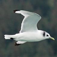 Kittiwake added to list of threatened species
