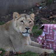 Zoo animals indulge in festive cheer