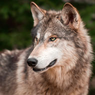 Runaway wolf safely recaptured