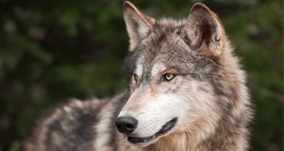 Runaway wolf safely recaptured
