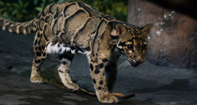 Clouded leopard escaped from private property