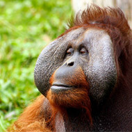 Orang-utans use plants to relieve body pains