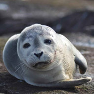 Environmentalists develop novel device to track harbour seals