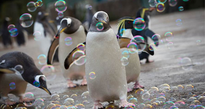 Bubble machine is a hit with zoo's penguins
