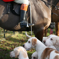 Hunting hounds pose 'significant' disease risk - study