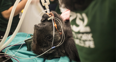 Vets operate to save critically endangered gorilla