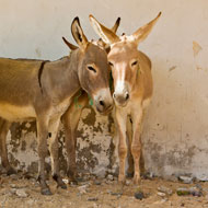 Demand for Chinese remedy threatens 'millions of donkeys'