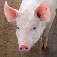 Discovery could help fight classical swine fever
