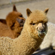 Alpaca blood donation event held in Derby