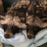 Two raccoon dogs rescued from same village