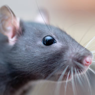 Rat owners urged to practise safe handling
