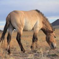 Wild horses no longer exist, study reveals