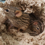 Zebra mice rescued from home containing 100 rodents