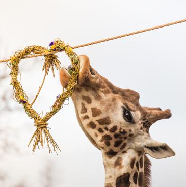 Giraffes enjoy Valentine's Day enrichment
