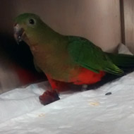 Microchipping plea after two stray parrots found in Cardiff