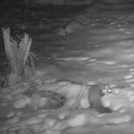 Rare pine marten captured on camera in Northumberland