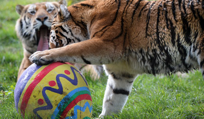 Tigers treated to egg-citing first date