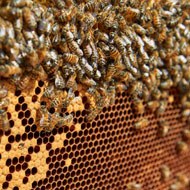 Honey bee colonies shed light on human brain
