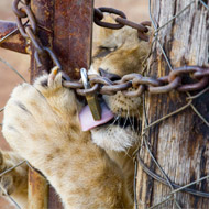 Report documents shocking growth of captive lion trade