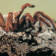 Canada becomes leading exporter of Mexican tarantulas