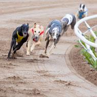Greyhound injury and retirement data published