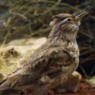 'Catastrophic' fall in French bird populations
