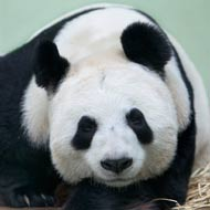 Edinburgh Zoo suspends panda breeding