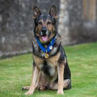 Police dog Finn gets gold medal for bravery