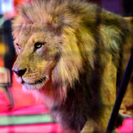 Britain's 'last lion tamer' refused licence