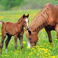 AHT begins equine herpes virus vaccine research