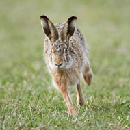 Record-breaking season for hare coursing operation