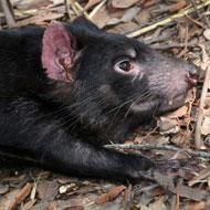 Human anti-cancer drugs could help Tasmanian devils