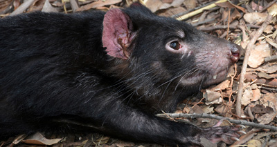 Human anti-cancer drugs could help Tasmanian devils