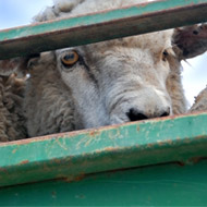 Possible ban on animal exports for slaughter