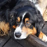 Custom implant saves dog's life