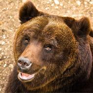 Brown bear death 'a tragic fatality'