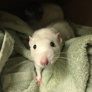 Charity reports rise in rats and mice at its centres