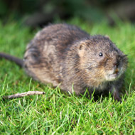 Public urged to report water vole sightings