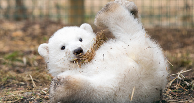 UK's only polar bear cub is male, zoo confirms