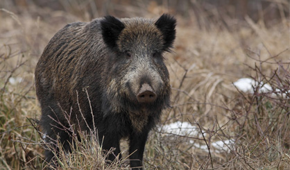 Hungary reports first case of African swine fever